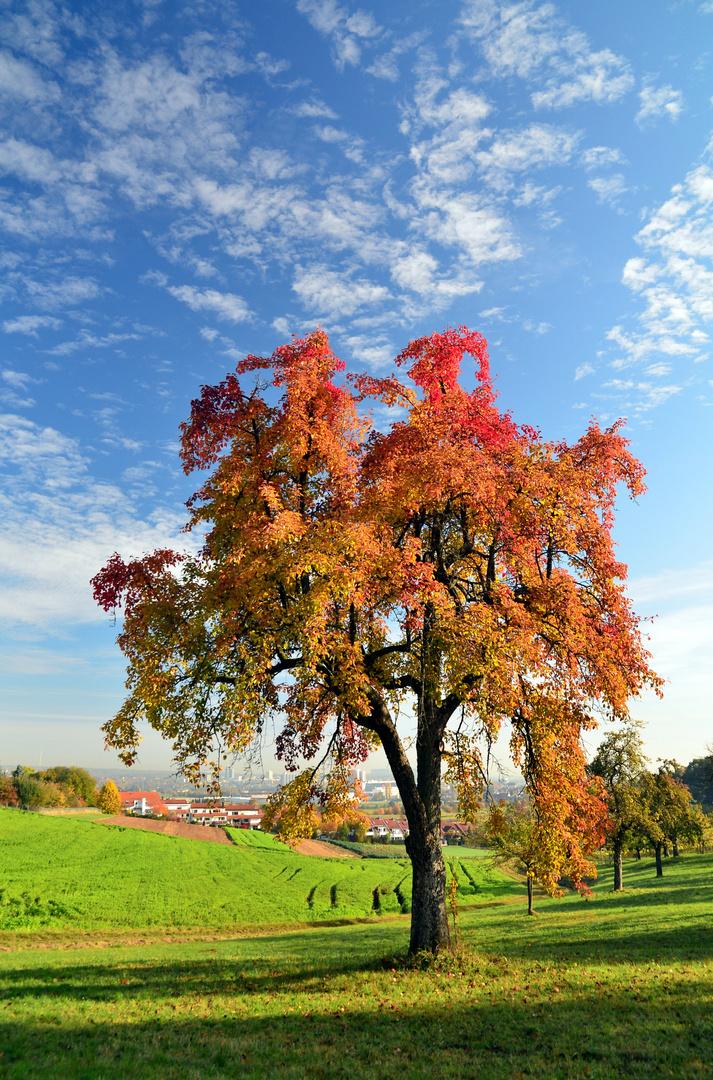 Birnbaum Im Herbstkleid