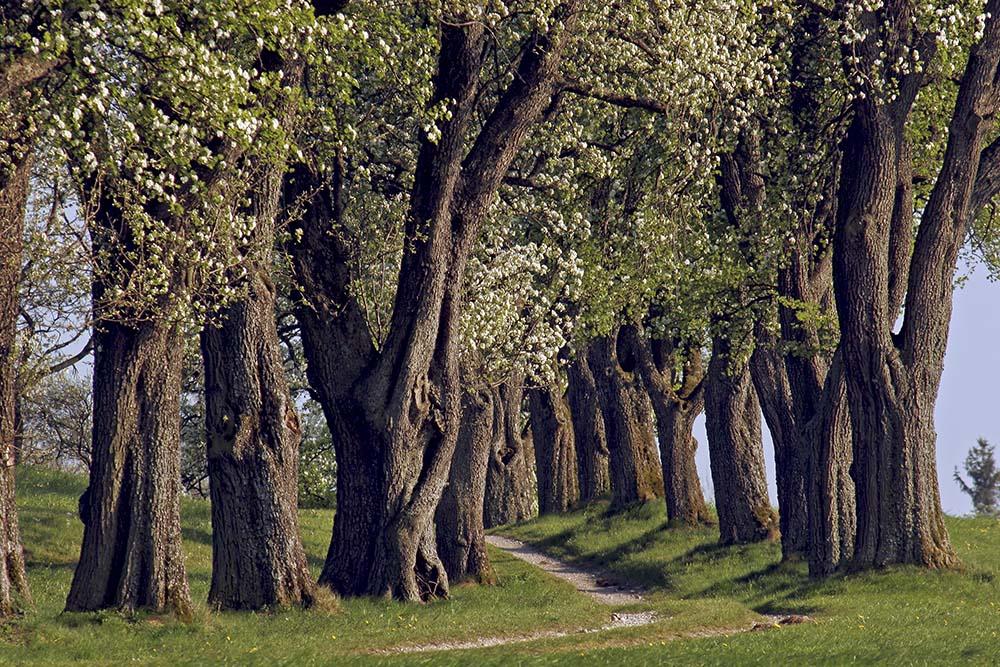 Birnbaumallee