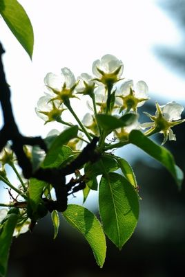 Birnbaumblüten