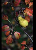 -Birne im Herbst-