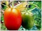 Birnen-Tomaten
