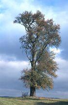 Birnenbaum