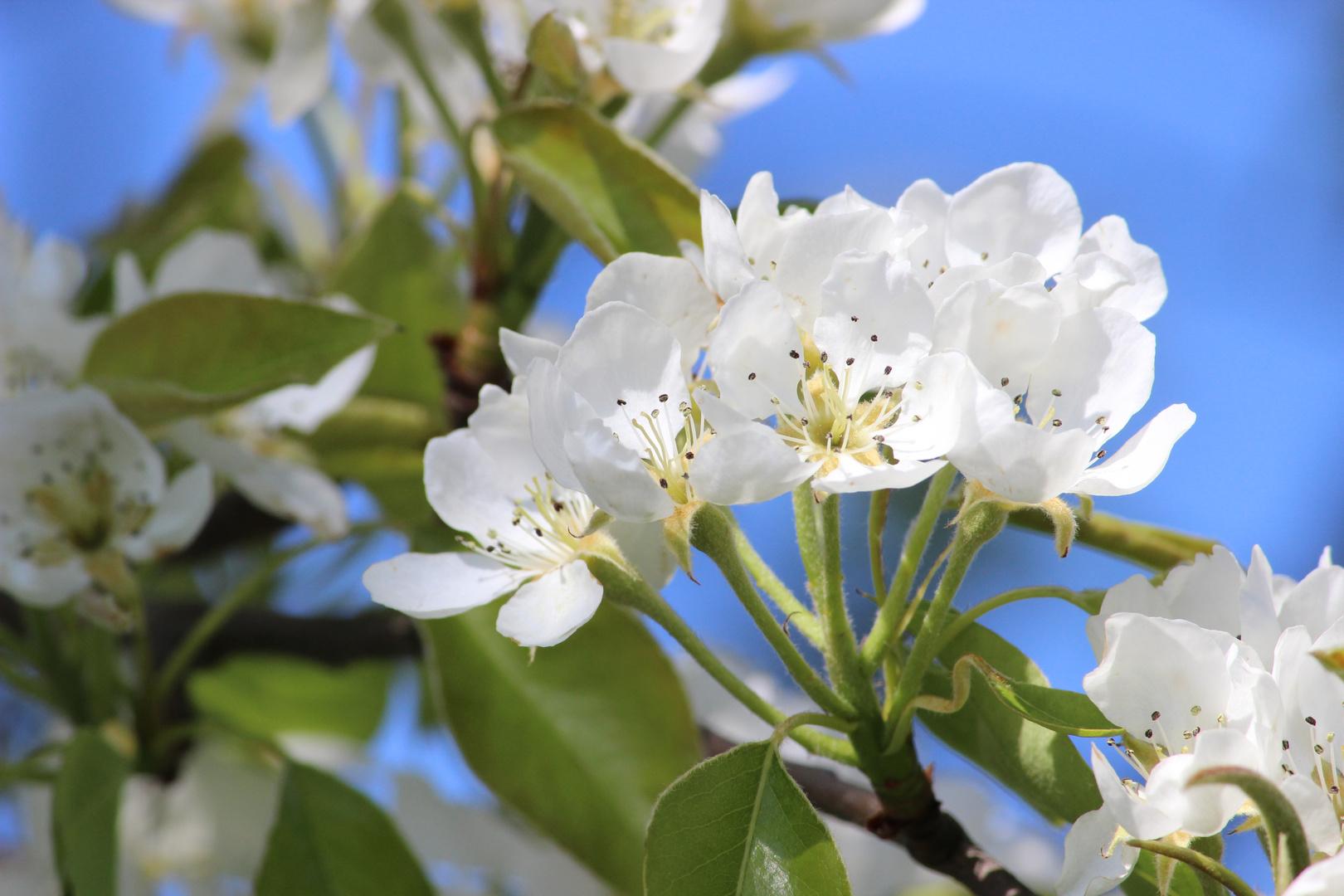 Birnenblüten I