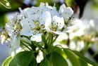 Birnenblüten II