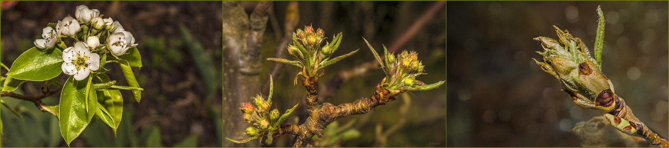 Birnenblütenknospenpano