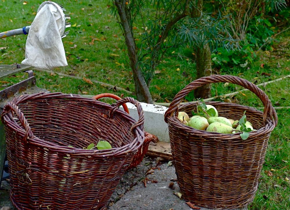 °°° Birnenernte mit dem Äppelpflücker - Ob das richtig ist ? °°°