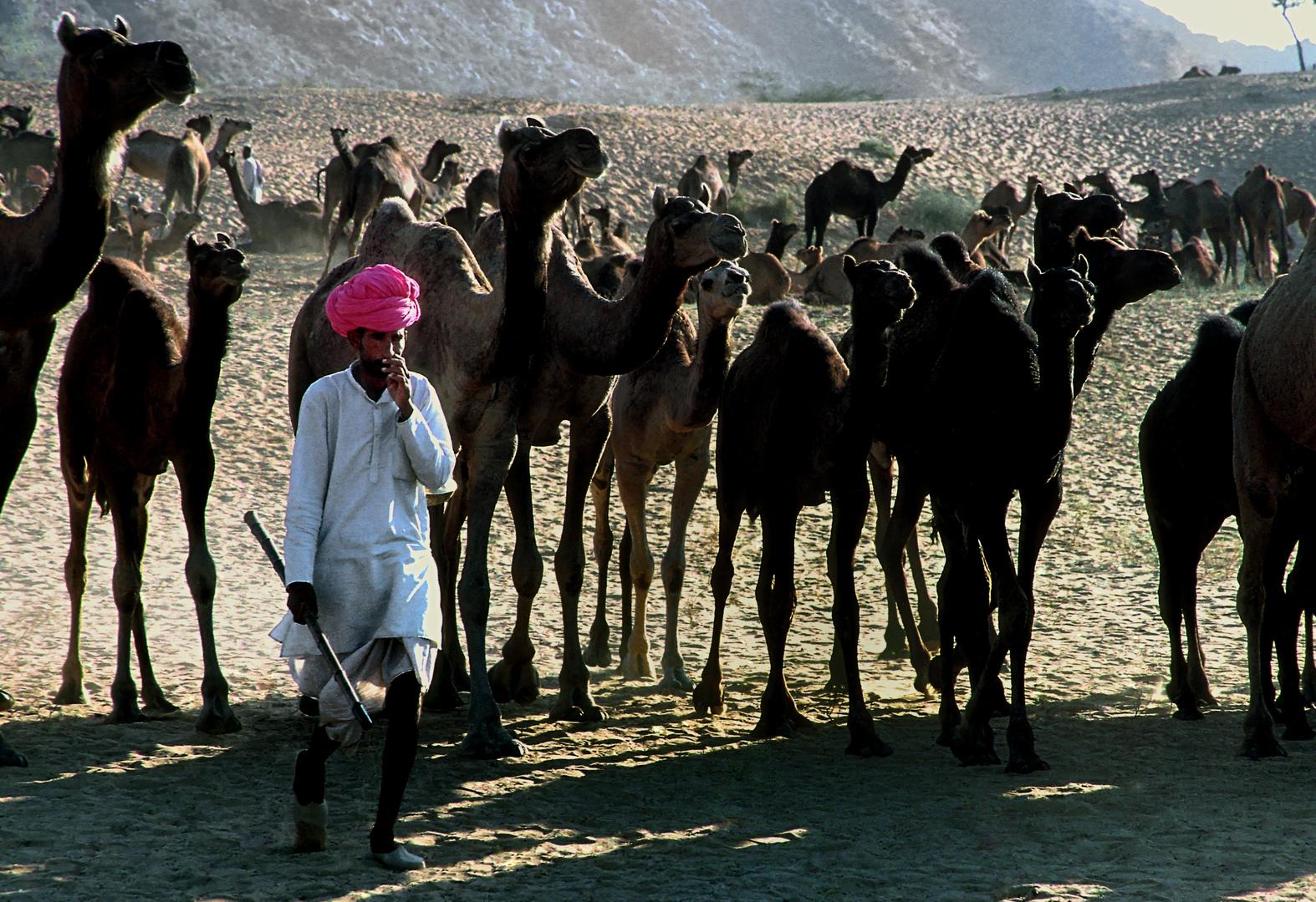 Bis zu 50 000 Kamele am Pushkar Mela