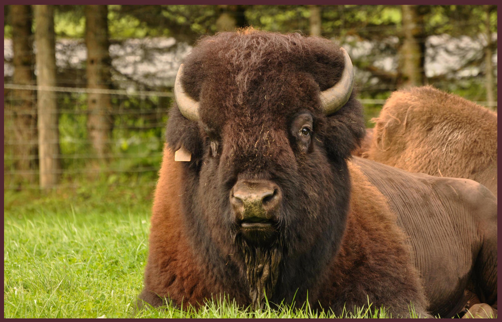 bison fut photo et image animaux animaux sauvages nature images fotocommunity. Black Bedroom Furniture Sets. Home Design Ideas