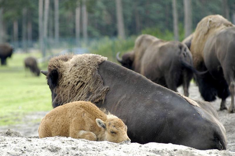 bison junges