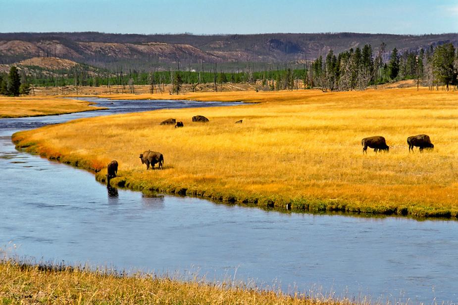 Bisons am Yellowstone River II - Yellowstone N.P. - Wyoming - USA