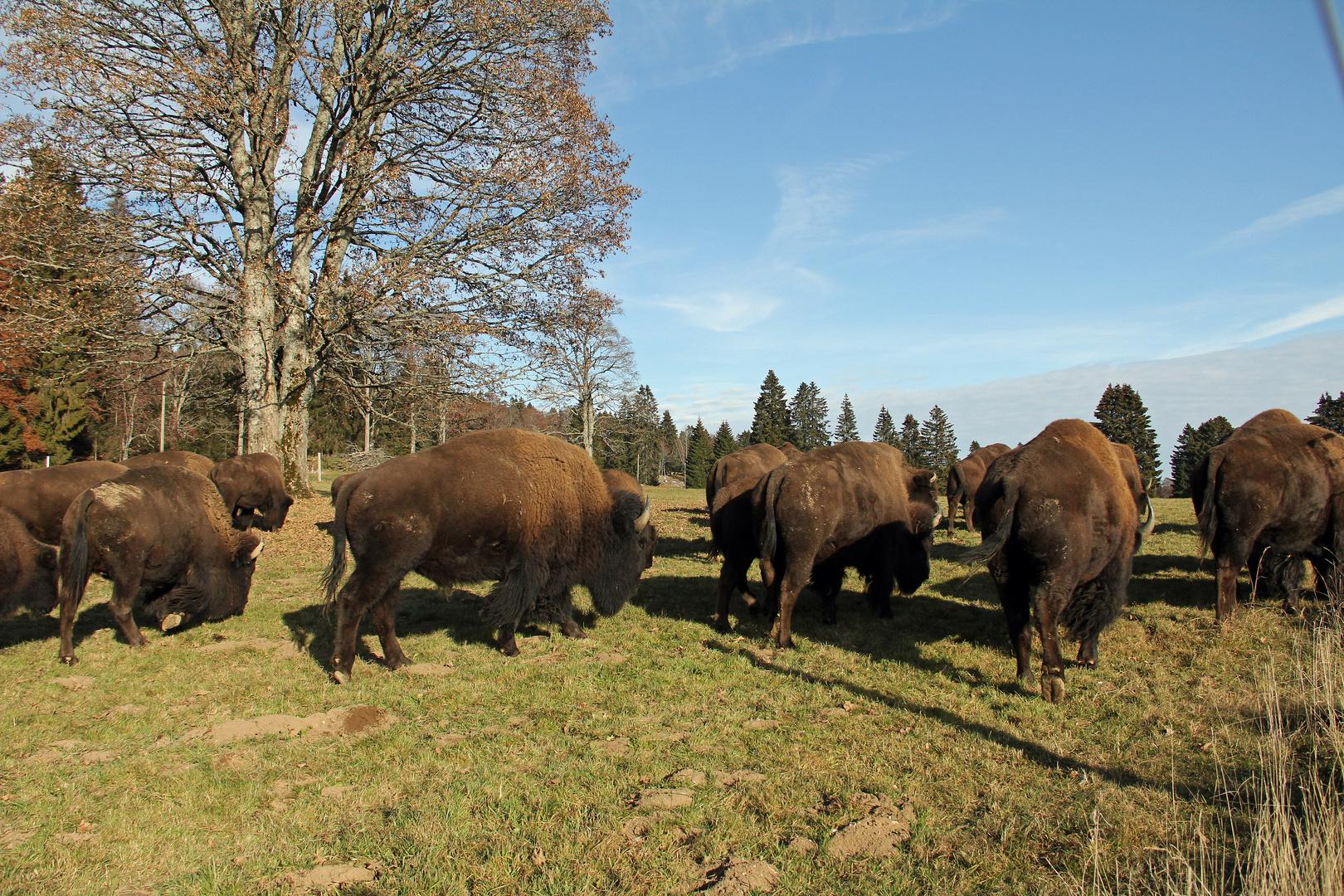 Bisons im Jura