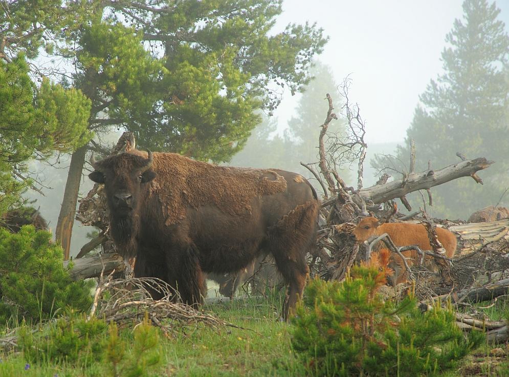 Bisons im Nebel