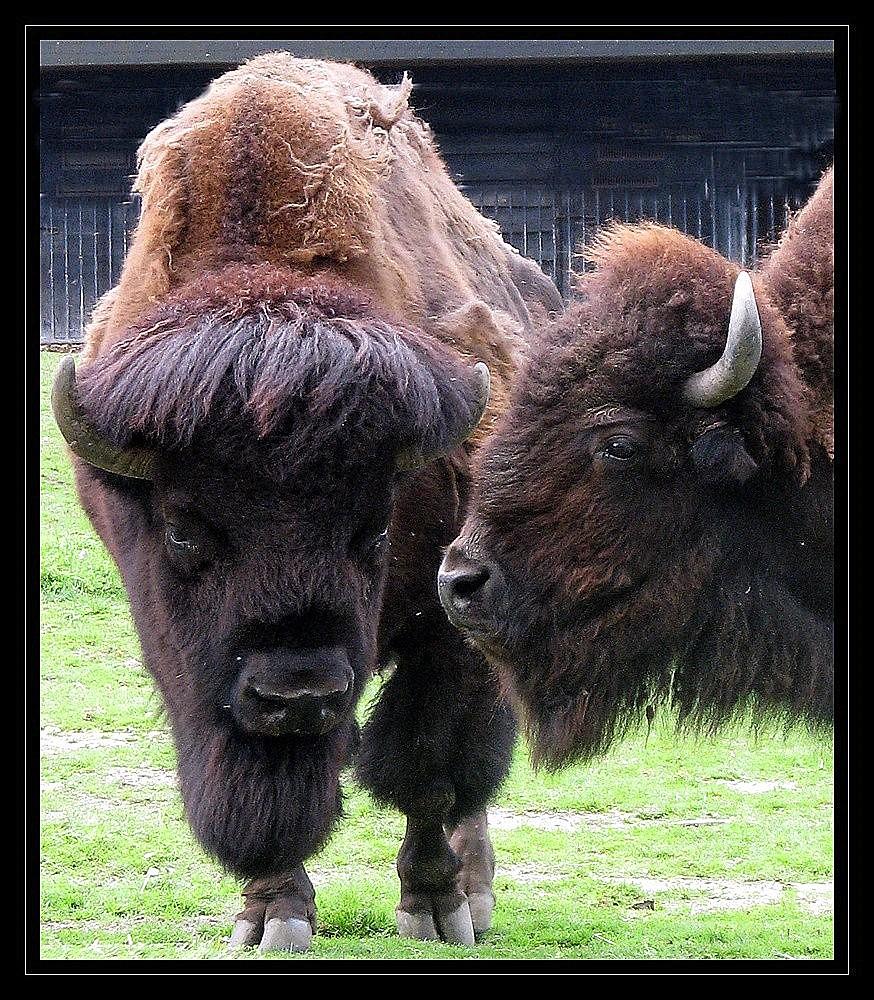 bisous de bisons !