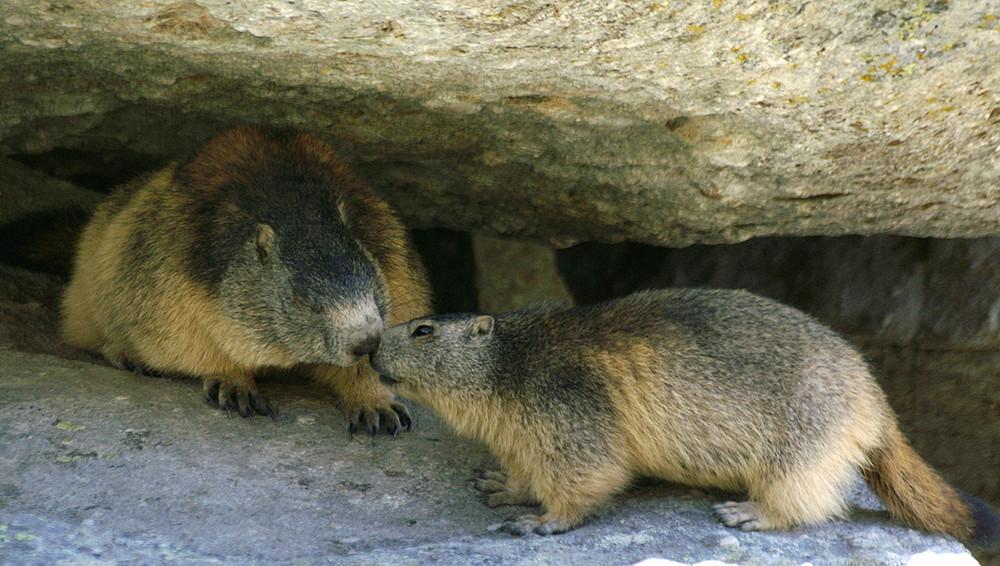Bisous de marmottes