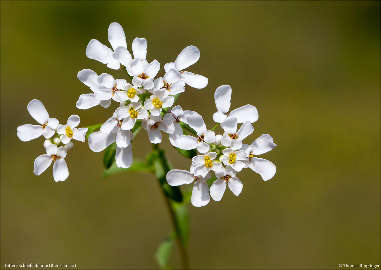 Bittere Schleifenblume (Iberis amara) ..