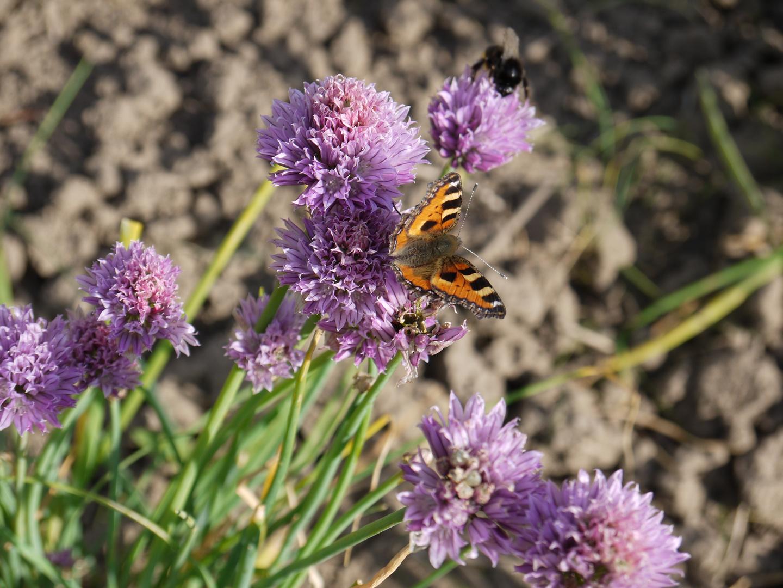 bitteren Schnittlauch für den süßen Schmetterling