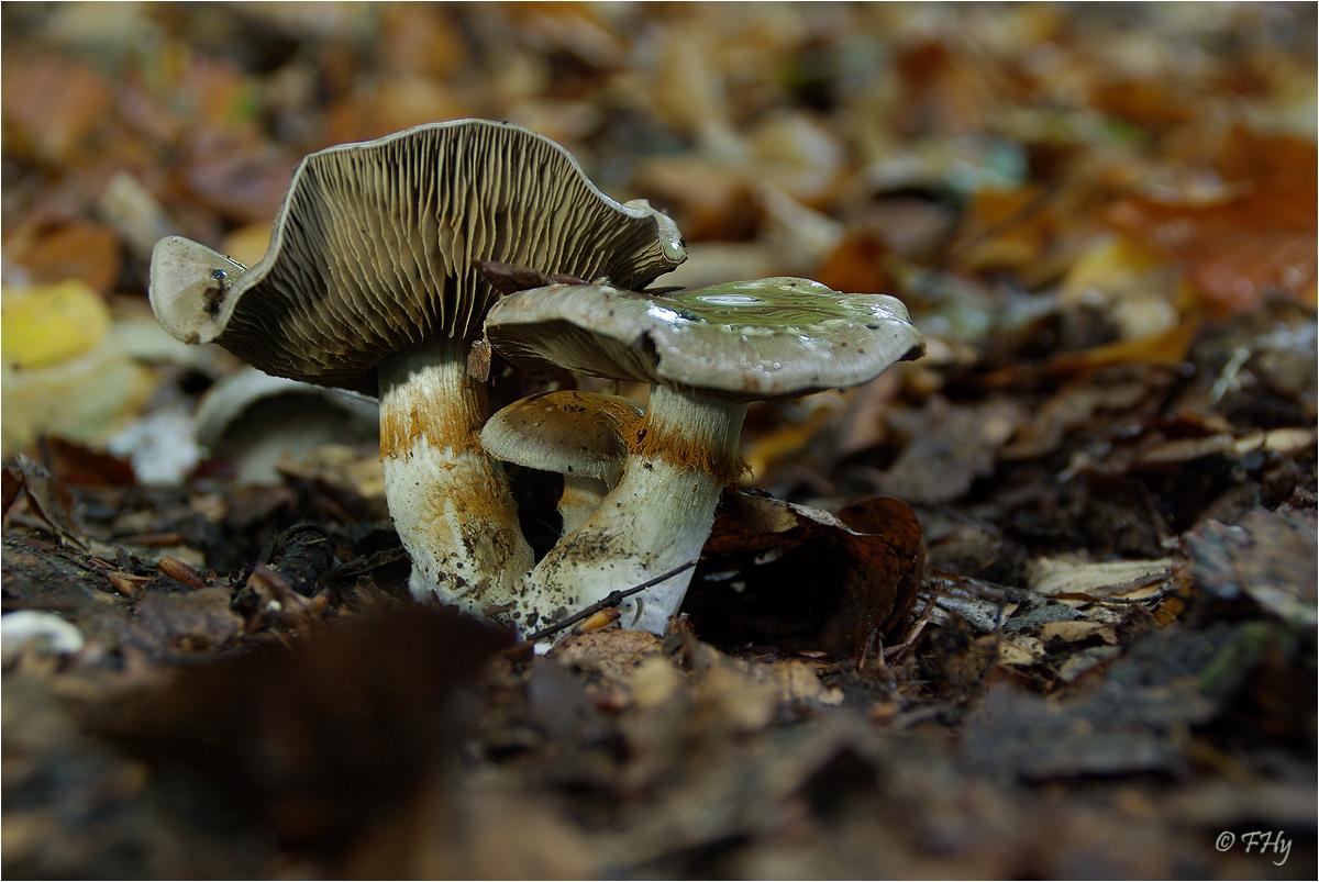 Bitterer Schleimkopf - Cortinarius infractus