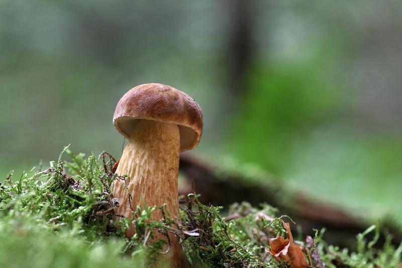 Pilze Bitterling