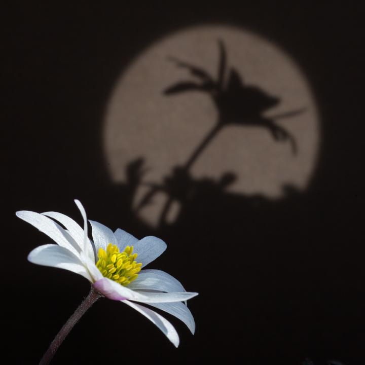 BKS - Anemone Licht und Schatten