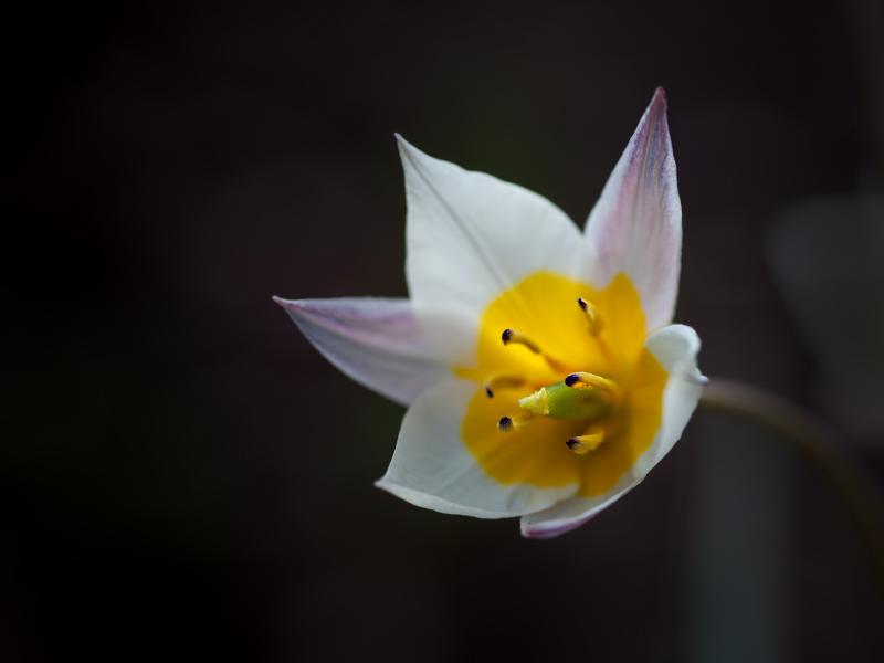 BKS - Tulpe