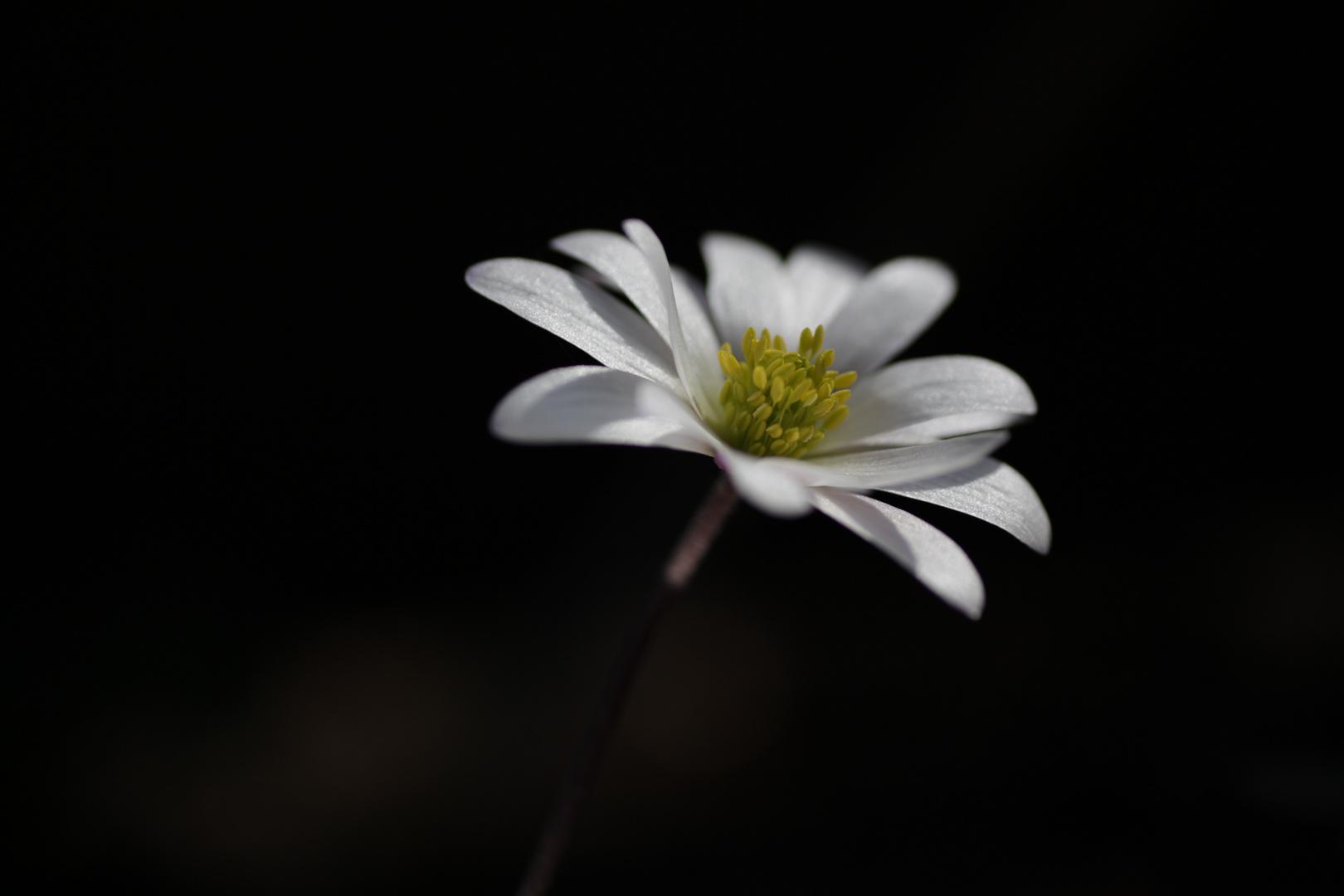 BKS - Weisse Anemone