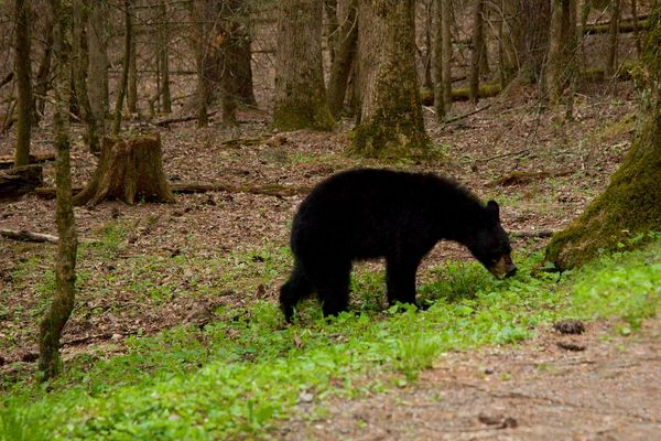 Black Bear - Great Smoky Mountains N.P. - Tennessee - USA