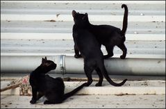 Black cats of the roofs