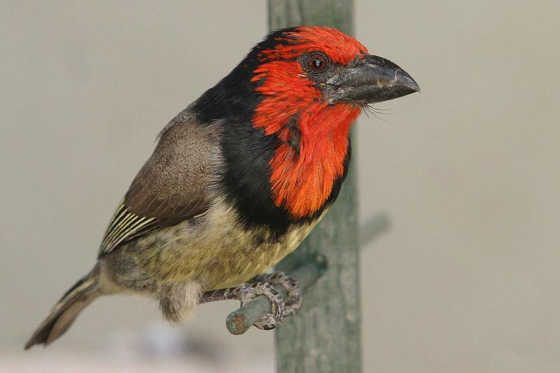 Black collared Barbet