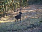 ***Black Deer***