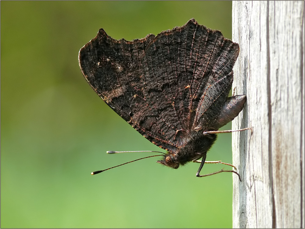 Black -Flyer