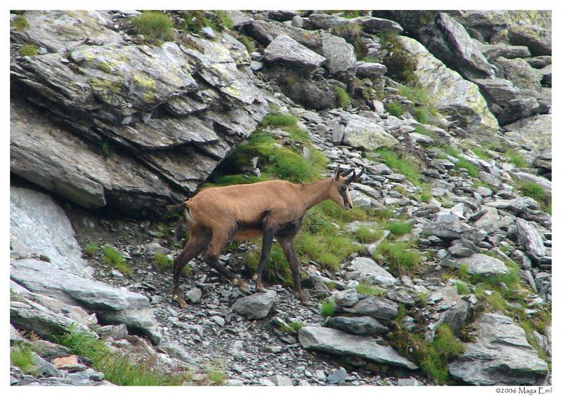 black-goat ( Rupicapra rupicara )