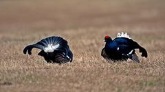 Black grouse lekking 1