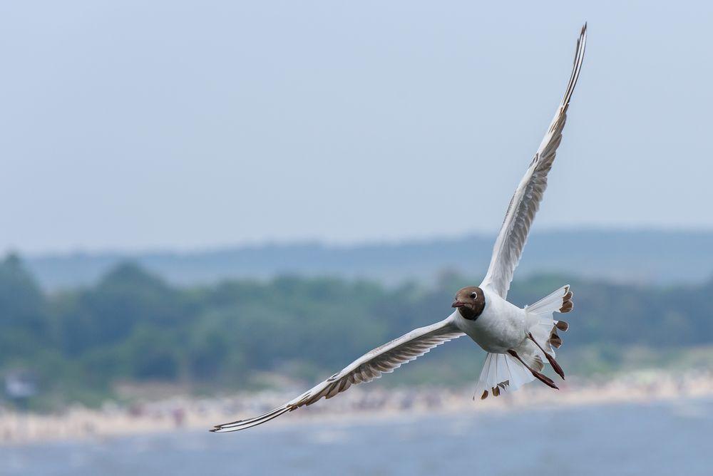 black-headed gull ...