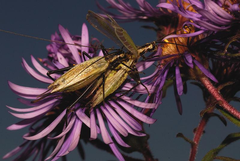 Black-horned Tree Crickets