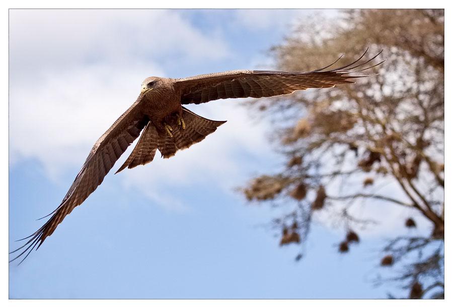 black kite im Angriff :)