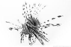 ~ Black Lionfish ~