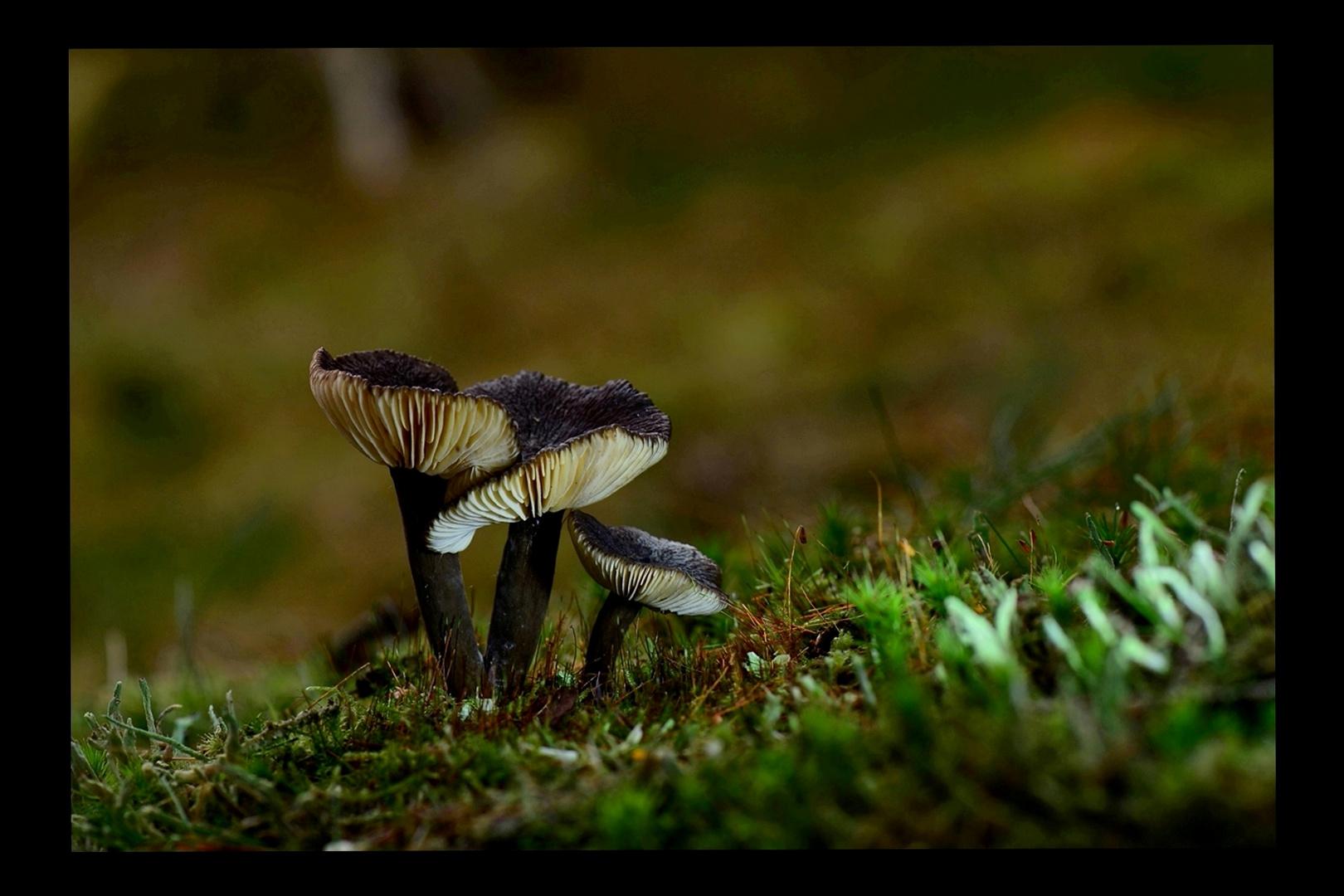 Black mushrooms