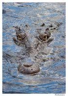 Black-River Krokodil