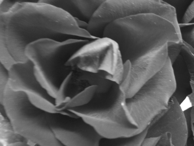 Black Rose..