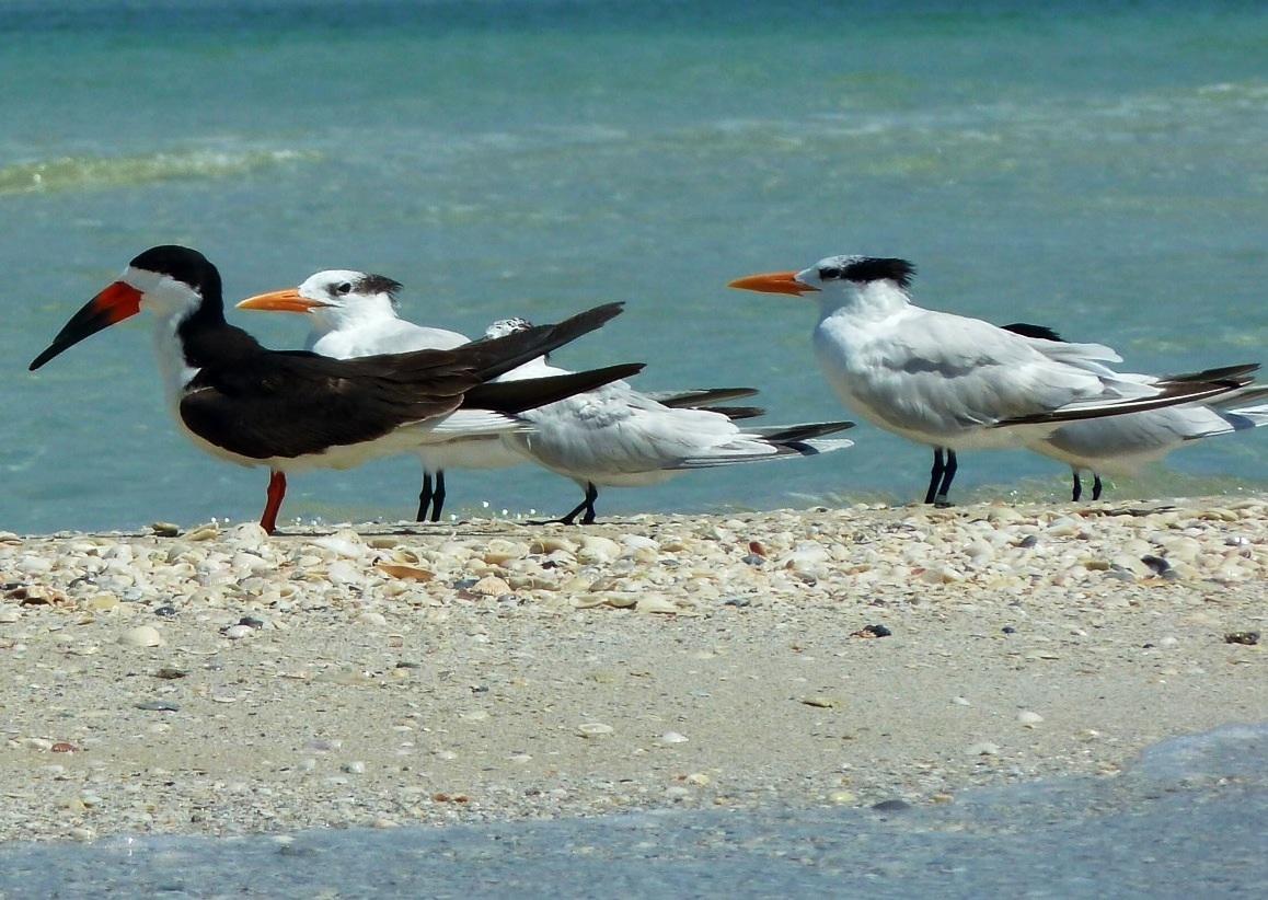 Black Skimmer, Lovers Key, Florida
