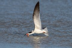 "Black Skimmer ""skimming"""