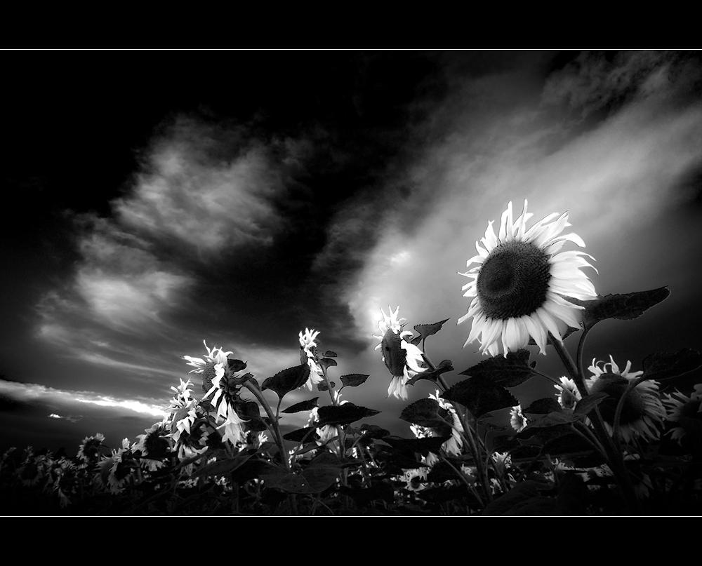 BLACK sun ... WHITE flowers