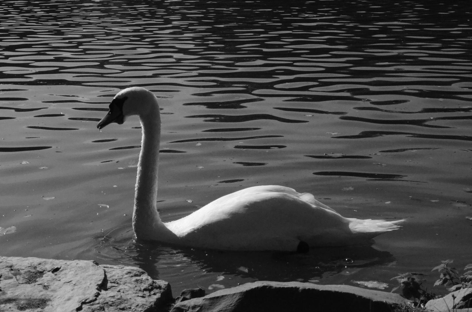 """""""black"""" Swan"""