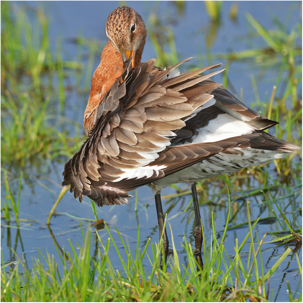 Black-tailed Godwit - Uferschnepfe