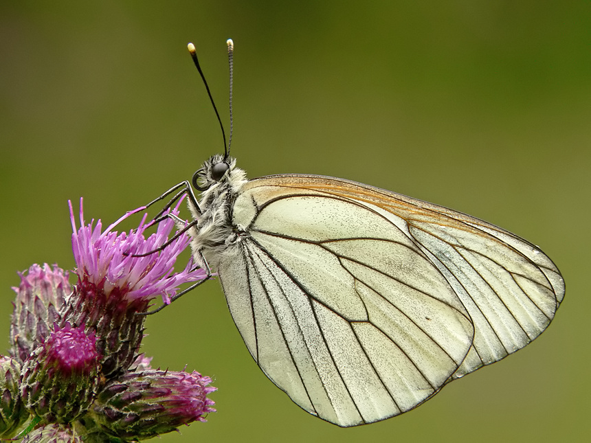Black - veined White