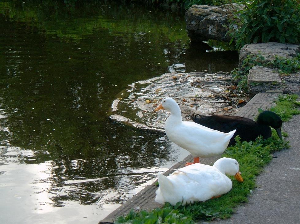 Black & White at the Duck Pond, Biddestone