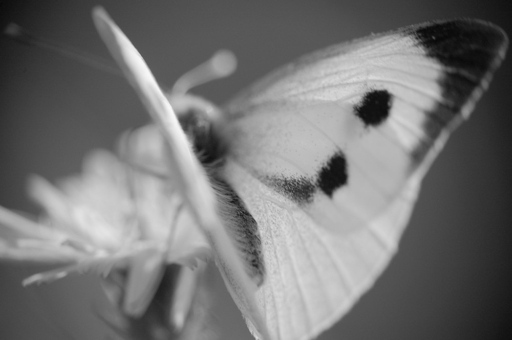 Black & White Papillon