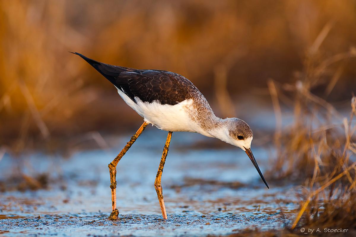 Black-winged Stilt bei Sonnenaufgang