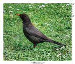 """ Blackbird """