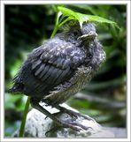 Blackbird > Beatles